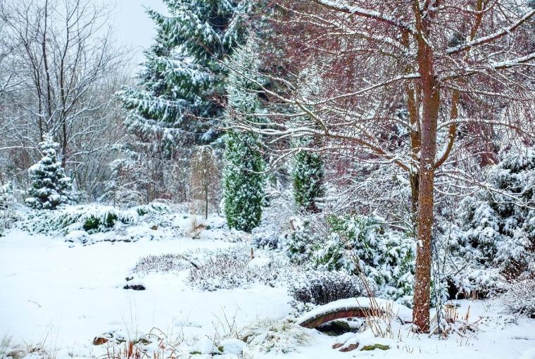 Zimowa zagadka - przykryte śniegiem byliny oddały pierwszeństwo sylwetkom drzew igęstwinie gałązek.