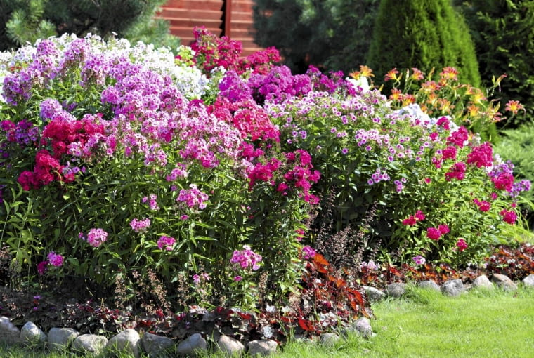 floksy, ogród,