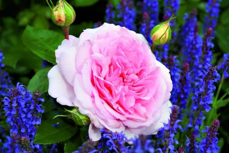 'Alexandra Princesse de Luxembourg' - róża parkowa, wys. 1,5 m, kwiaty o śr. 10 cm.