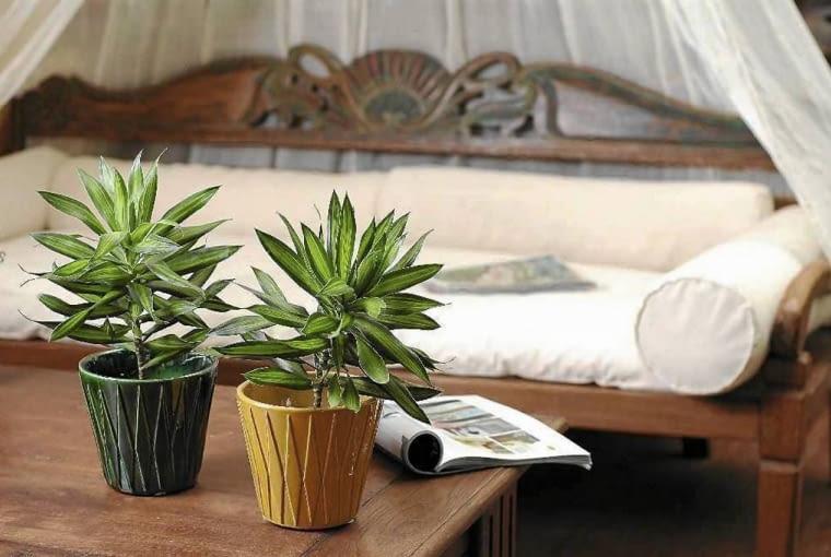 DRACENA WONNA 'MASSANGEANA' (Dracaena fragrans 'Massangeana') ma efektowne pasiaste liście.
