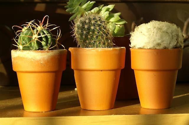 Ziemia w ceramicznych doniczkach łatwo przesycha, co służy kaktusom.