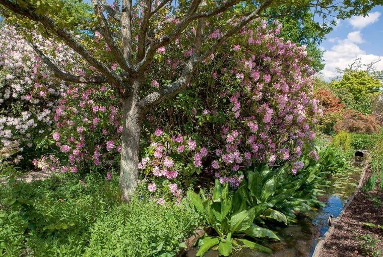 Okazy rododendronów sięgają niekiedy koron drzew - tu 'Mrs Charles E. Pearson'.