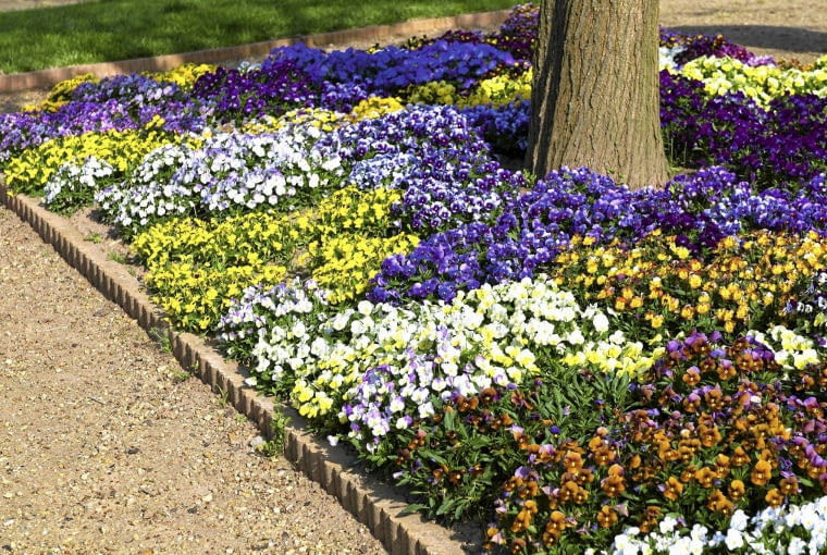 01ACDGJ1; Viola cornuta border SLOWA KLUCZOWE: