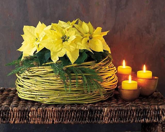 Ozdoby i dekoracje świąteczne na Boże Narodzenie. Stroiki bożonarodzeniowe. Kremowa poinsecja jest tak urokliwa, że nie potrzebuje wiele ozdób. Wystarczą gałązki jałowca i osłonka uwita z pędów derenia złotokorego