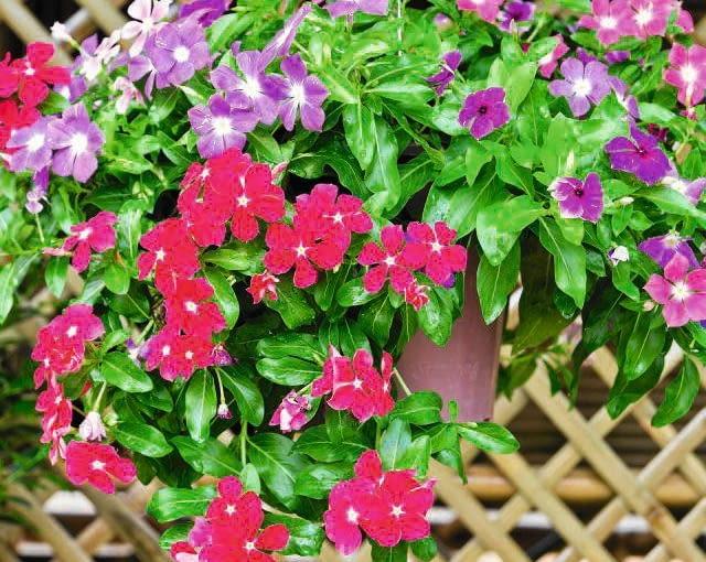 Połączenie różowej odmiany płożącej 'Mediterranean Deep Orchid' z liliową krzaczastą ?Cooler Lavender Hue?.