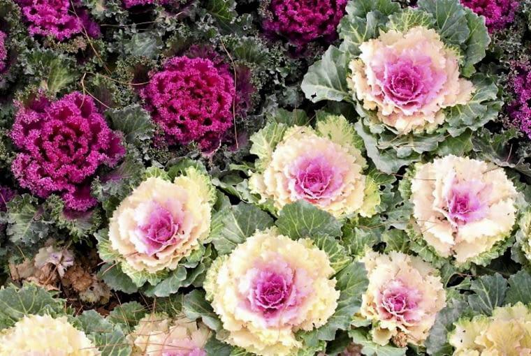 Kapusta ozdobna (Brassica). Rośliny jednoroczne