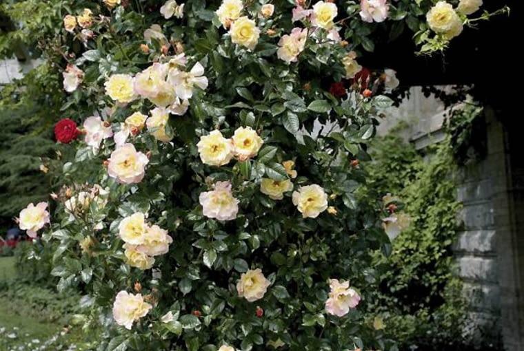 Róża Moonlight. Osiąga wys. 2 m