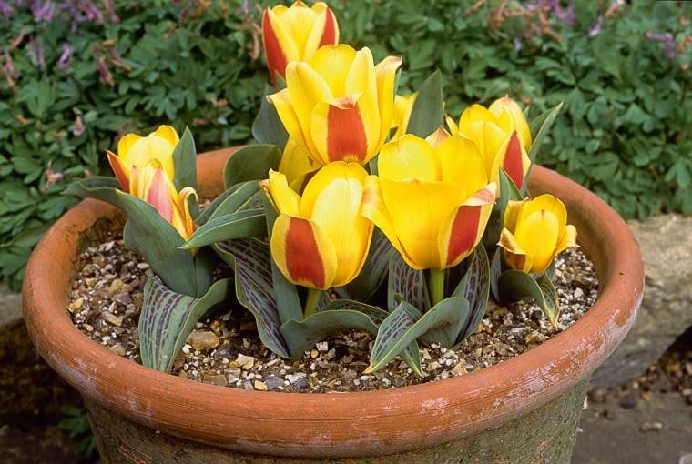Tulipan kaufmanna 'Chopin' kwitnie od marca, początkowo tuż przy ziemi. Gdy jest ciepło, jego kolory bledną.