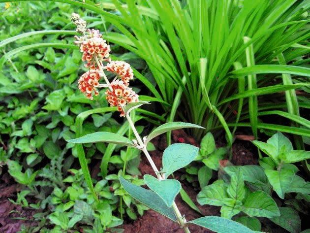 Budleja Weyera tworzy na wierzchołkach pędów luźne kwiatostany składające się z małych pomponików.