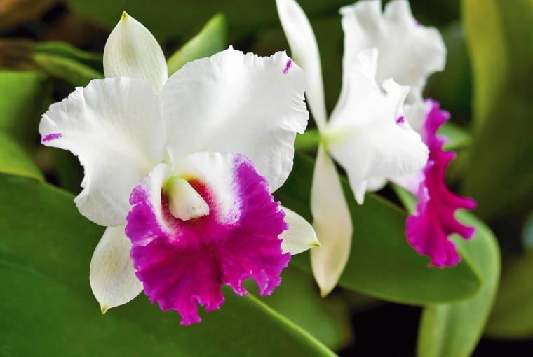 ROŚLINY PACHNĄCE. KATLEJA. Duże, wielokolorowe kwiaty tego storczyka wydzielają przyjemną, delikatną woń. Roślina lubi obfite podlewanie, dużą wilgotność powietrza i ciepło ? przez cały rok powinna być trzymana w temperaturze powyżej 25 st. C.