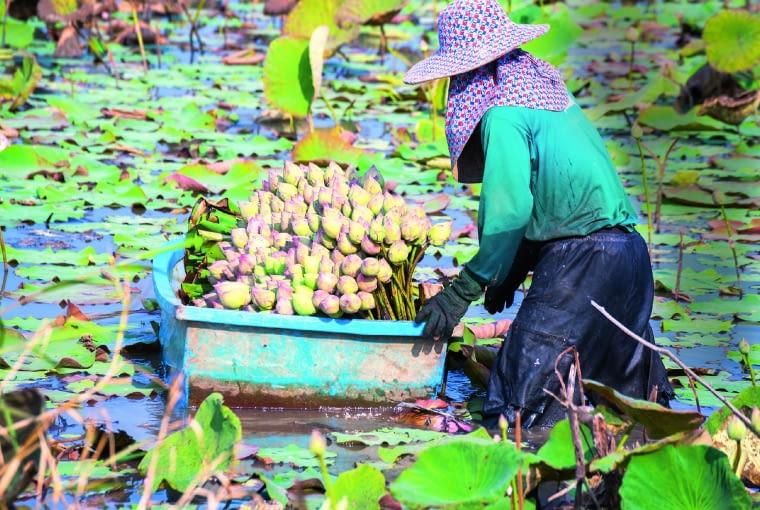 Zbiór lotosów w Wietnamie. Różne części tych roślin stanowią przysmak tamtejszej kuchni.