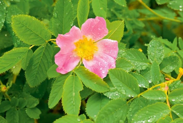 Pojedyncze kwiaty o średnicy 4-5 cm kwitną tylko 1-2 dni.