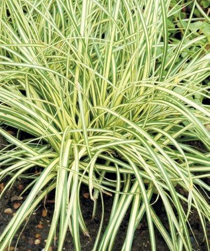 Turzyca hachijońska (Carex hachijoensis) 'Evergold' tworzy kępki o wysokości 25-40 cm. Powinna rosnąć w pełnym słońcu