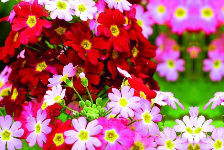 pierwiosnek ślimakowaty 'Pink Ice' - to odmiana wielobarwna, z której pąków rozwijają się kwiaty w różnych odcieniach czerwieni i różu. Piętrowe kwiatostany przybierają kształt kopułek.