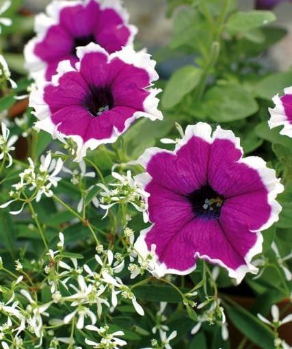 nowości kwiatowe, kwiaty na balkon, Petunia 'Corona Amethyst'