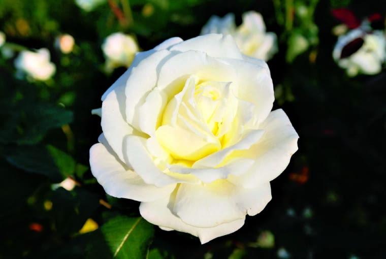 'Memoire' - mieszaniec herbatni, wys. 0,7 m, kwiaty o śr. 11 cm.