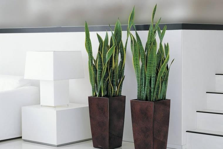 """To tak zwana żelazna roślina - do zdrowego wzrostu wystarczy jej przysłowiowy łyk wody. Woli suszę od nadmiaru wilgoci, jest bowiem sukulentem liściowym, czyli magazynuje wodę w mięsistych liściach i korzysta z niej, kiedy ma na to ochotę. Mało wymaga, ale ma jeden kaprys: musi mieć suche """"nogi"""" - inaczej łatwo gnije, zwłaszcza zimą."""
