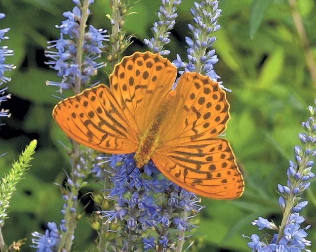 Motyle zdobią ogród i zapylają kwiaty, choć z kolei ich larwy są roślinożerne. Na zdjęciu dostojka malinowiec