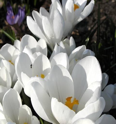 08.04.2006 N/z Crocus Joanna Darc krokus szafran kolor bialy wiosna roslina cebulowa