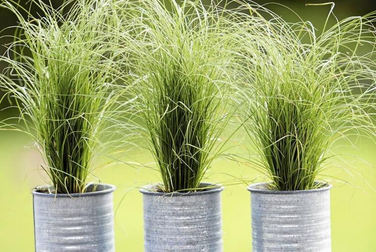Wieloletnia turzyca brunnea (Carex brunnea) długo zachowuje atrakcyjny wygląd.