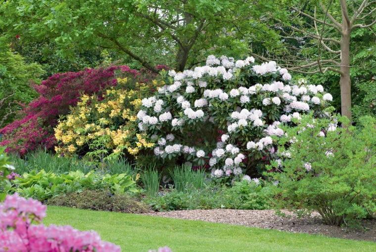 Biały różanecznik 'Loder's White' zachwyca w towarzystwie żółtej azalii 'Exbury Hybrids'.