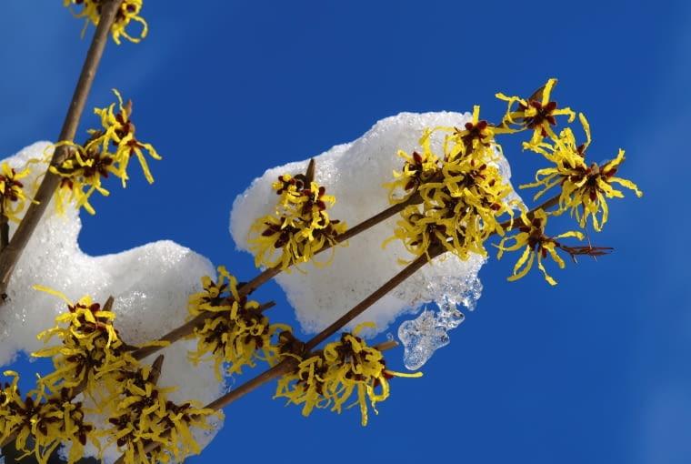 Odmiany mieszańcowe oczarów tworzą pod koniec zimy skupiska różnobarwnych kwiatów o średnicy 2-3 cm. Ich płatki bywają pomarańczowe, żółte i brązowe.