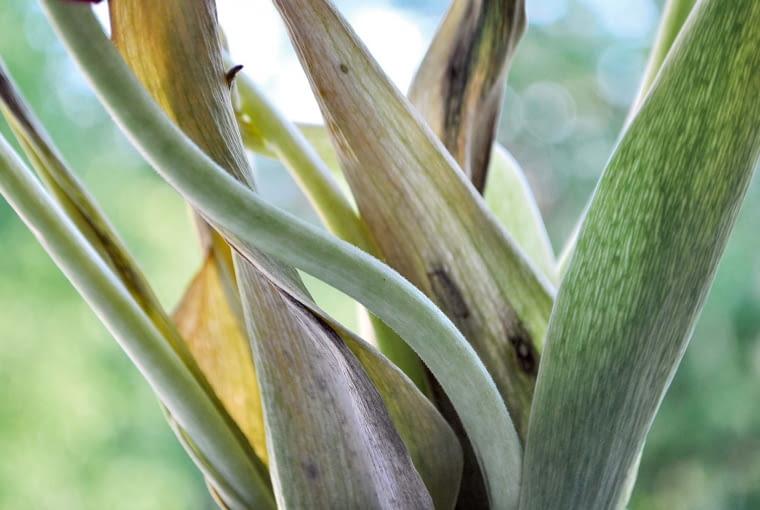 Jeśli zauważymy gnijące lub suche plamy iprzebarwienia, rośliny od razu wykopujemy wraz zcebulkami, wyrzucamy do śmietnika lub palimy.
