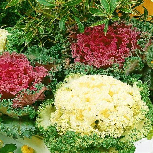 Kapusta ozdobna - kwiaty jesienne