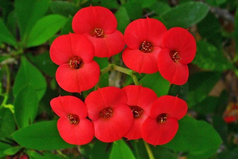 Wilczomlecz (Euphorbia milii) kwitnie wytrwale prawie przez cały rok. Lubi słońce. Jeśli zapomnisz przez jakiś czas o podlaniu, to Ci przebaczy.