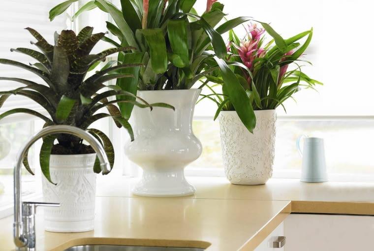 Guzmaniom służy kuchenny ciepły i wilgotny mikroklimat. Kiedy ich piękne kwiaty przekwitną, rośliny będą zdobić wnętrze ciemnozielonymi liśćmi.