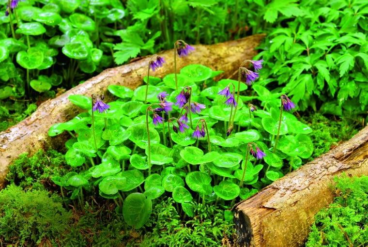 Urdzik górski (S. montana) rozwija drobne kwiaty od maja do sierpnia.