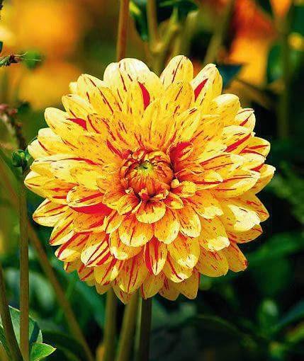 Ogrodowa 'Gloriosa'