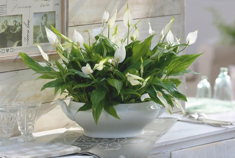 Skrzydłokwiat łatwo zakwita zimą w ciepłym, jasnym pokoju.