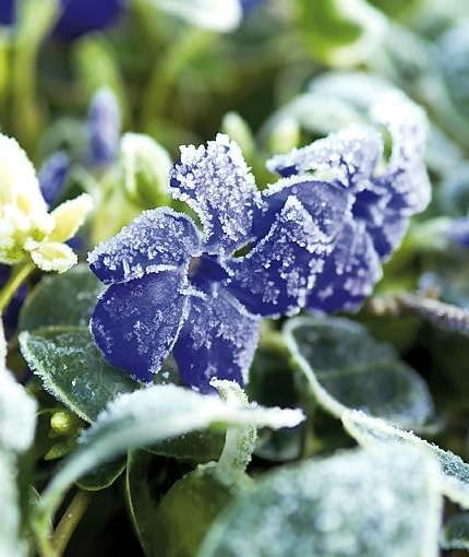 Vinca minor 'Ralph Shugart' in frost