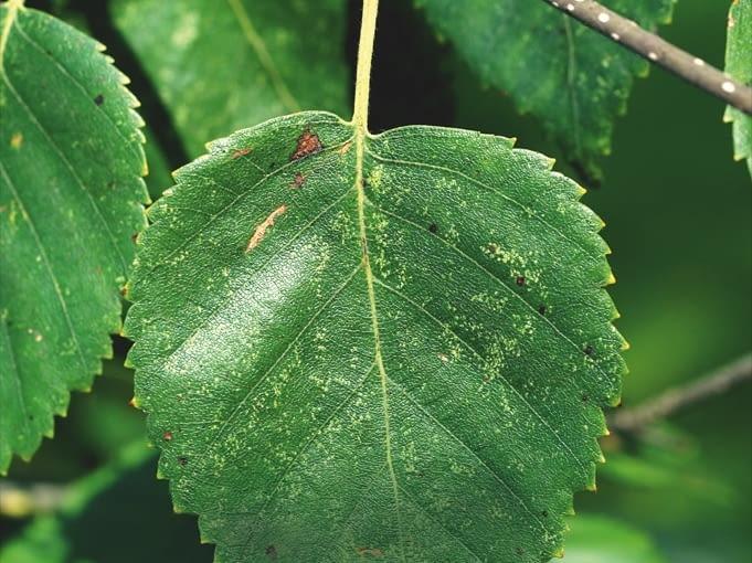 Drobne jasne plamki na liściach brzozy. Przyczyna: skoczki.