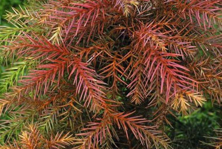 Cryptomeria japonica 'Lobbii Nana', syn C J 'Nana'