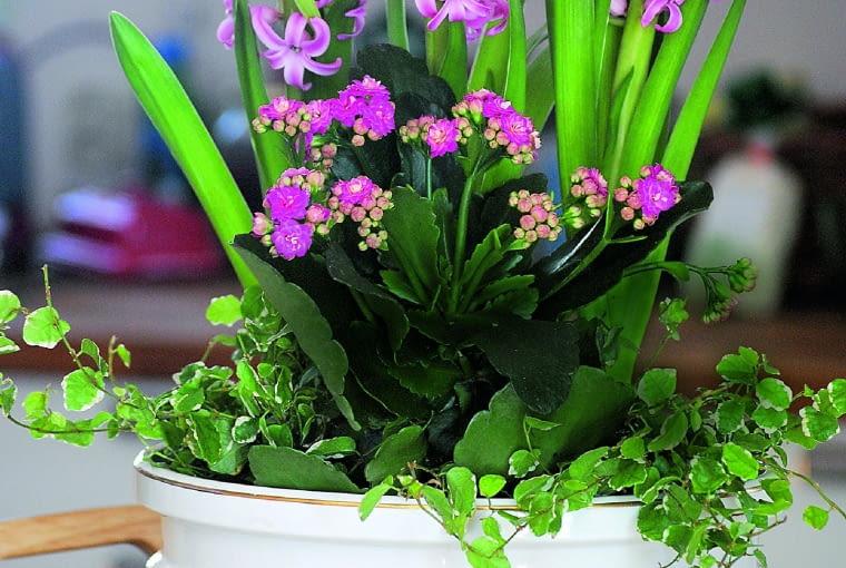 """Do własnych pędzonych hiacyntów dodałam zakupione kwitnące pod kolor kalanchoe i, jako """"wypełniacze"""", 2 fikusy pnące odmiany 'Snowflake'."""