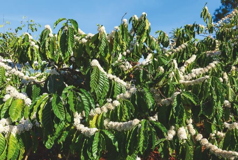 KRZEWY KAWY przycinane są do wysokości 2 m. W klimacie równikowym kwitną i owocują na okrągło, w subtropikach zbiór dokonuje się dwa razy w roku.