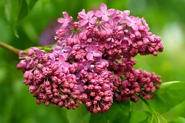 Jedna z licznych odmian bzu lilaka - króla majowych ogrodów.