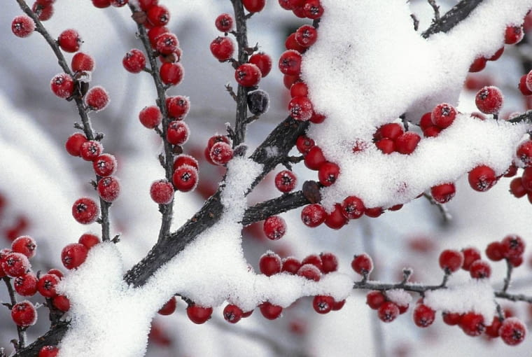 01AA6215 - Wall Cotoneaster berries (Cotoneaster horizontalis)