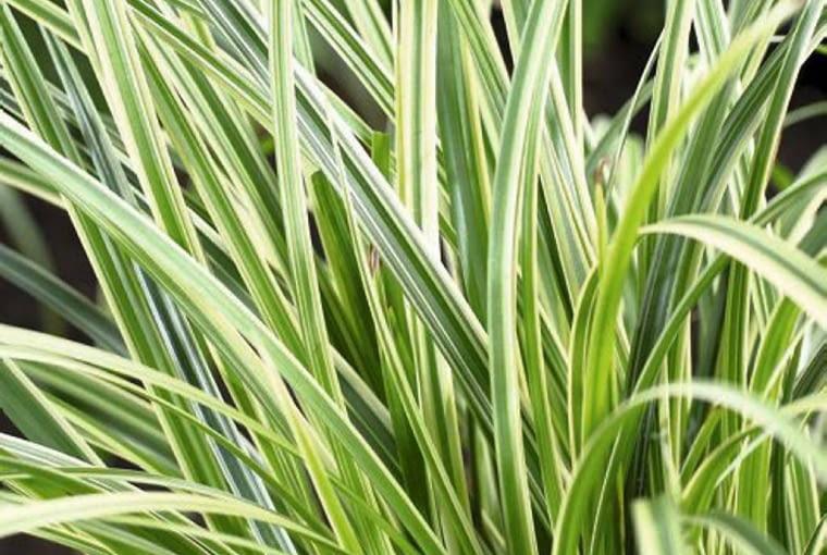 Carex morrowii Silver Sceptre SLOWA KLUCZOWE: Carex Close Up Nahaufnahme Perennial Sceptre Ziergrass grün vertikal