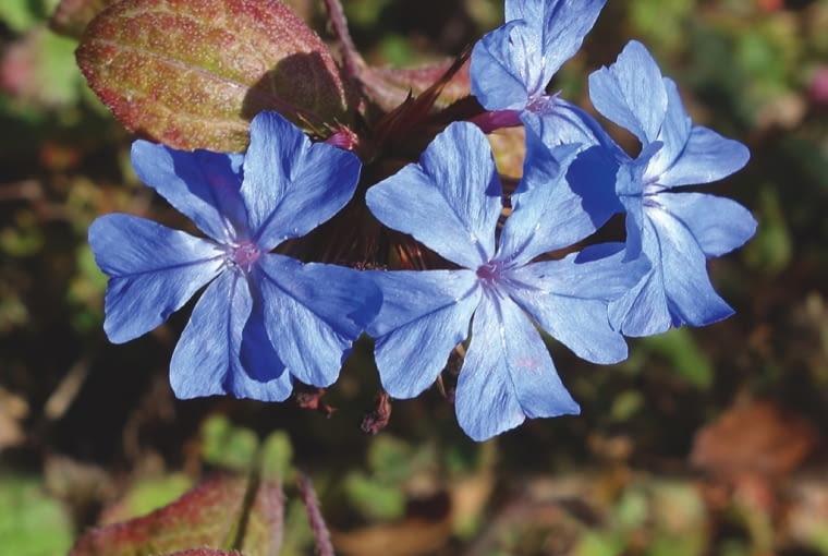 Zawciągowiec (Ceratostigma Plumbaginoides) Osiąga wysokość zaledwie 12-20 cm. Jego liście jesienią przebarwiają się na czerwonobrązowo i stanowią piękne tło dla niebieskich jak lazur nieba, drobnych (o średnicy 2 cm) kwiatów. Zawciągowiec najlepiej rośnie na słonecznym skalniaku. Wymaga ciepłego stanowiska z przepuszczalną wapienną glebą. Świeżo posadzone jesienią rośliny należy okrywać, ale gdy się rozrosną i ukorzenią, bez naszej pomocy są w stanie przetrwać ostre zimy.