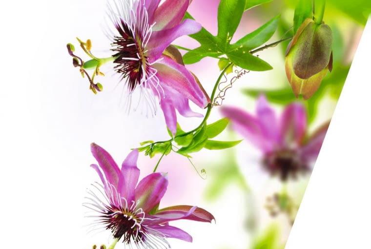MIESZANIEC ?LAVENDER LADY? tworzy jasno- albo ciemnofioletowe kwiaty.