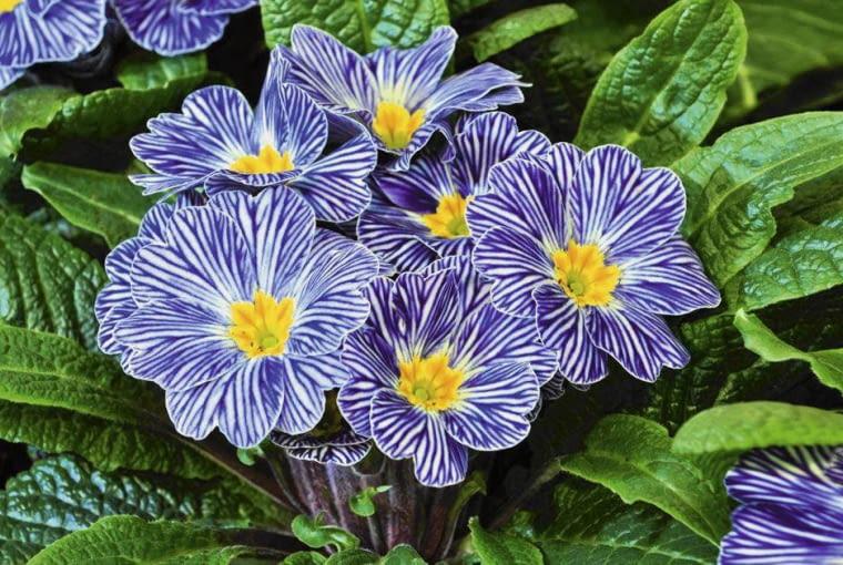 'ZEBRA BLUE' to odmiana pier-wiosnka bezłodygowego nadająca się głównie do pojemników.