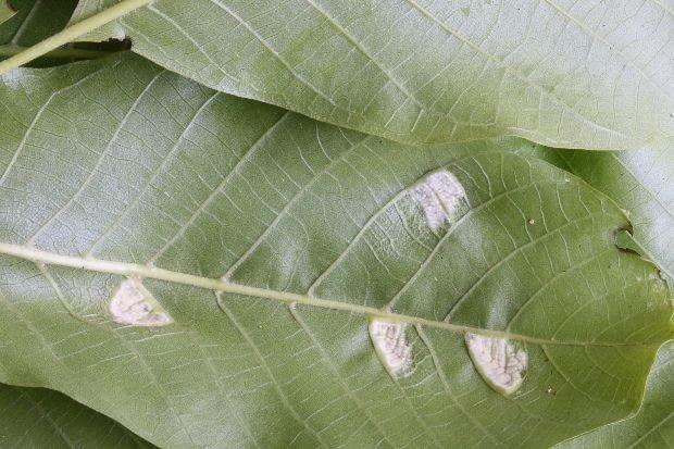 Pilśniowiec na dolnej stronie liścia orzecha włoskiego. Choroby roślin, szkodniki