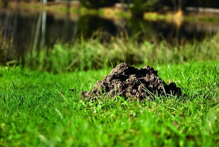 Przekopywanie gleby przez kreta to kłopot, lecz zarazem napowietrzanie i naturalny drenaż.