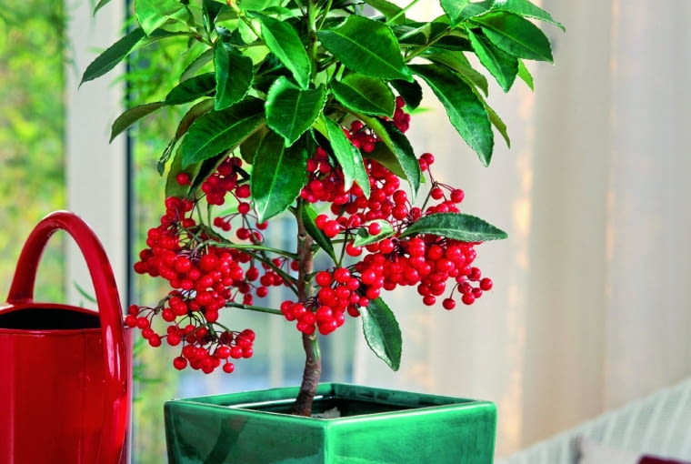 Ardizja. To nieduże drzewko dorasta do metra wysokości. Wiosną zdobią je białe lub różowawe kwiaty. Jeszcze ładniejsze są czerwone owoce, przypominające jarzębinę. Jak o nią dbać? Lubi rozproszone światło, umiarkowanie wilgotne podłoże. Służy jej też wilgotne powietrze. Zimą powinna stać wchłodzie (12-15 st. C).