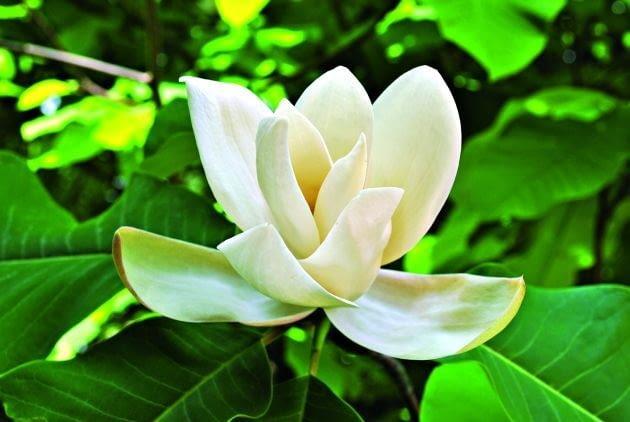 Kwaity tulipanowca trudno dostrzec, ponieważ są ukryte wysoko w koronie drzew.