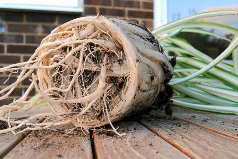 Przesadzaną roślinę należy umieścić w większe doniczce niż poprzednia, a korzenie należy lekko ponacinać