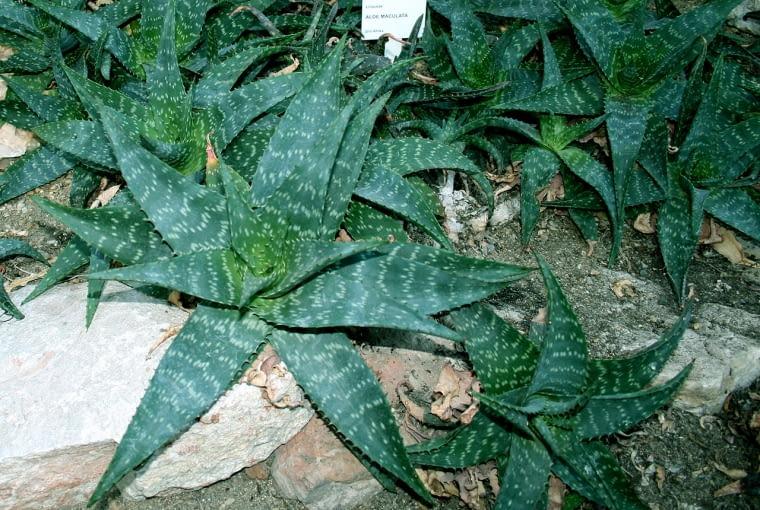 Aloesy (na zdjęciu aloe maculata) to niezwykle odporne rośliny. kochają słońce, nie znoszą tylko zalania korzeni.